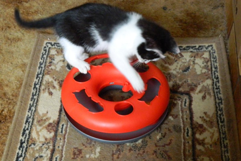 image kittenplaying with toy