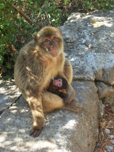 Female_Macaque_with_young_suckling © Gibmetal77 / Wikimedia Commons