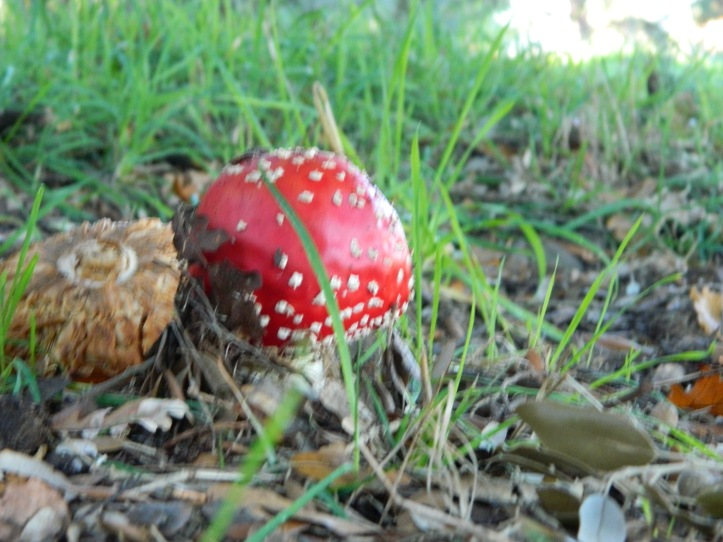 Amanita muscaria, commonly called fly agaric or less often fly mushroom, is a basidiomycete mushroom of the genus Amanita.