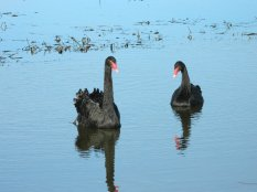 Black swans on Lake Dulverton