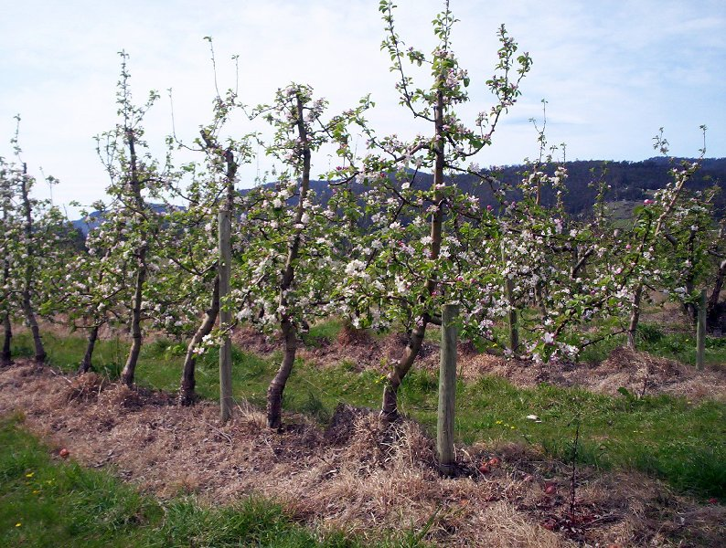 Apple orchard, Ranelagh Tasmania