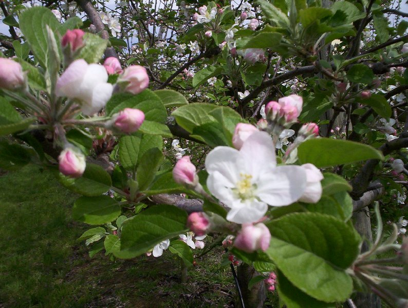 apple blossoms on our tree.