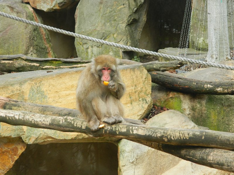 Japanese Macaque, one of a small colony that lives in an enclosure in City Park, Launceston.