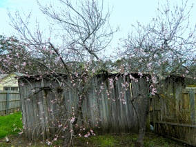 """Two old nectarine trees next to our """"rustic"""" shed."""