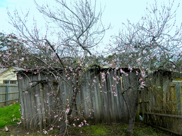 "Two old nectarine trees next to our ""rustic"" shed."