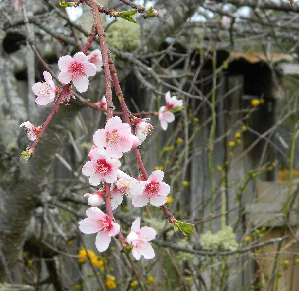nectarine blossom