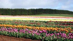 Tulip Farm, near Wynyard, Tasmania