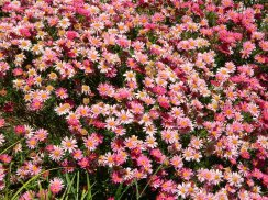 Massed pink daisies at Princes Park, Battery Point -Hobart