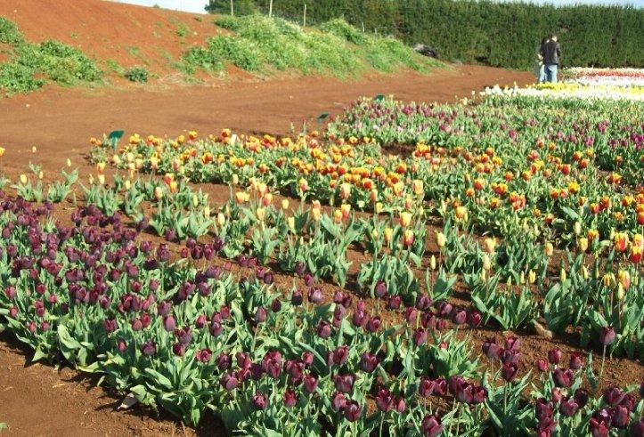 Tulip farm, Wynyard, Tasmania