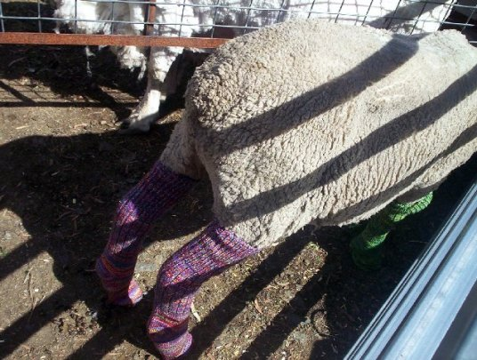Sheep in socks at Woodsdale Show.
