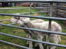 Two cute little lambs