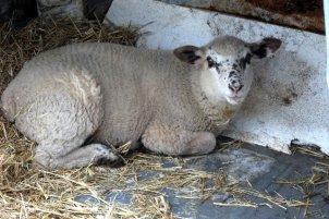 Oliver the lamb.