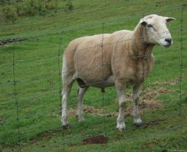 Sheep on a hobby farm in Franklin.
