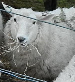 Pensive sheep at Franklin