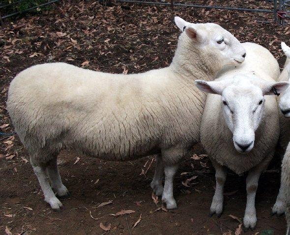 Clean sheep- Middleton Country Fair