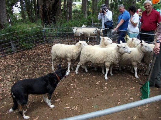 Sheep dog working at Middleton Country Fair