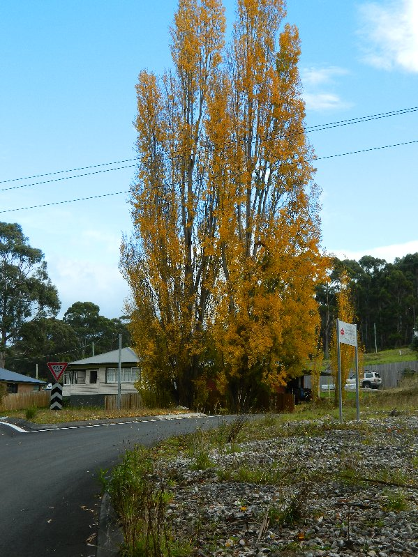 Poplar trees near my house.
