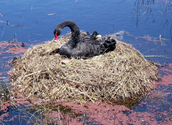 I was lucky enough to capture this swan on its nest.