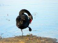 Black swan -Lake Dulverton, Tasmania