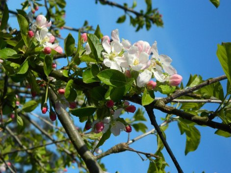 Apple blossom on our tree. October 2015