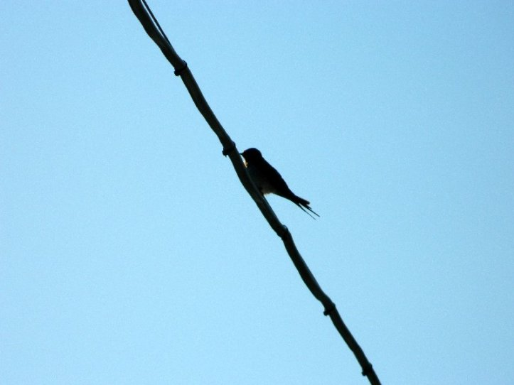 #birdonawire, #nesting