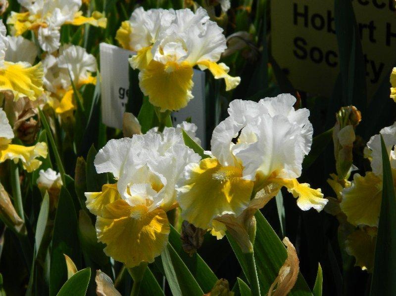 Something beautiful. Bearded Iris at the Botanical Gardens.