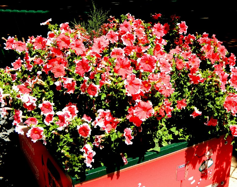 Petunias in a planter one of several dotted around the Hobart CBD. They are in their Christmas colours at present.
