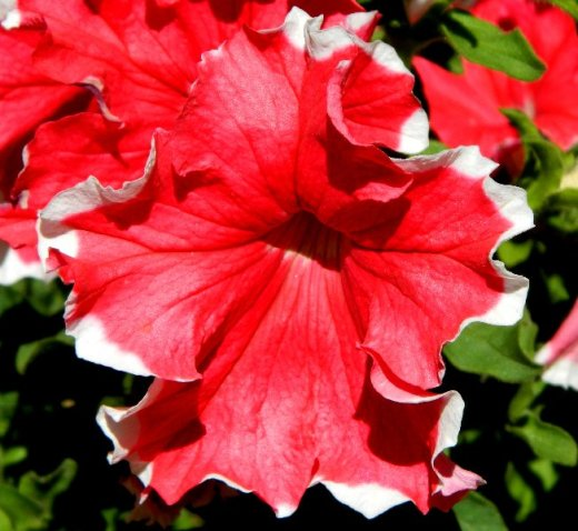 Red petunia close up.