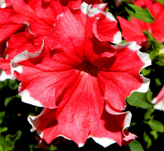Red petunia close up.