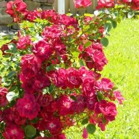 Red Roses in my garden
