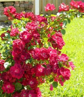 Red Roses in my garden
