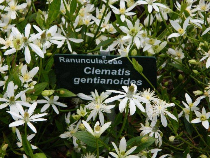 Ranaculus
