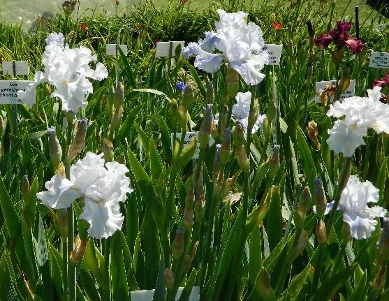 White Iris at the Botanical Gardens.