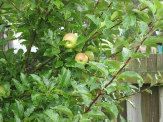 Apples on my tree