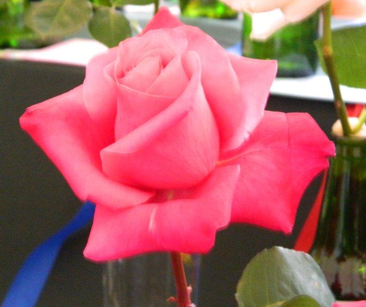 Prize winning rose