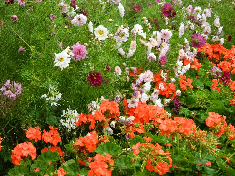 Red Geraniums and mixed flower border, Napier, NZ