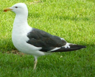 Southern Black Backed Gull.