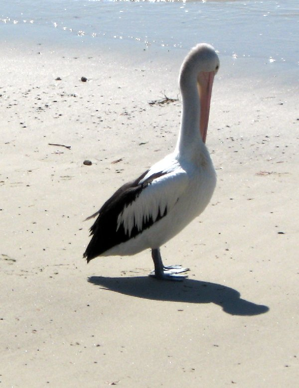 pelican, Sydney Australia