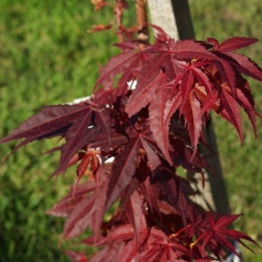 Reddish leaves on my Japanese Maple.