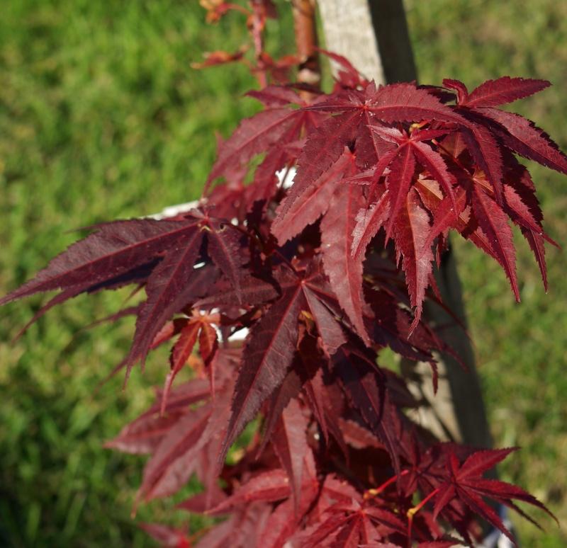 Reddish leaves on my Japanese Maple.