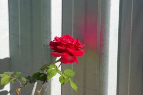 A red rose on my rose bush.