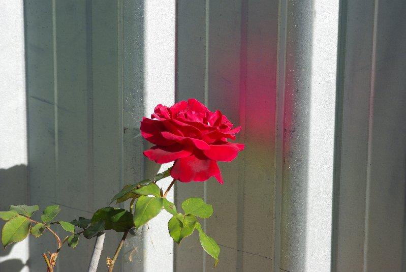 A red rose on my rose bush.
