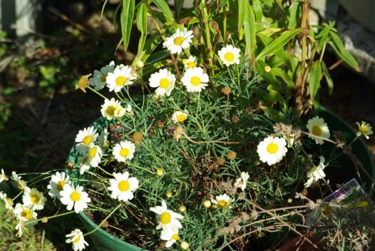 Daisies in my garden