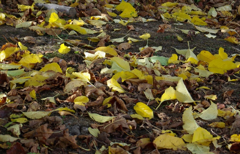 Autumn leaves under the apple tree.