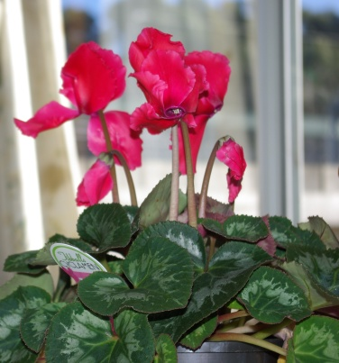 Potted cyclamen given to me for my birthday.