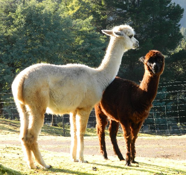 Alpacas on a friends property. I fed them for a week.