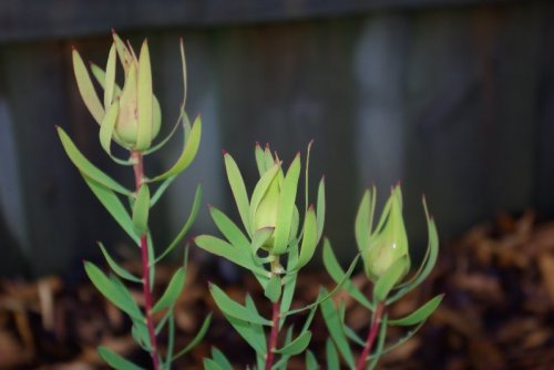 Leucadendron in my back garden.