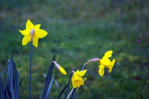 King Alfred Daffodils.