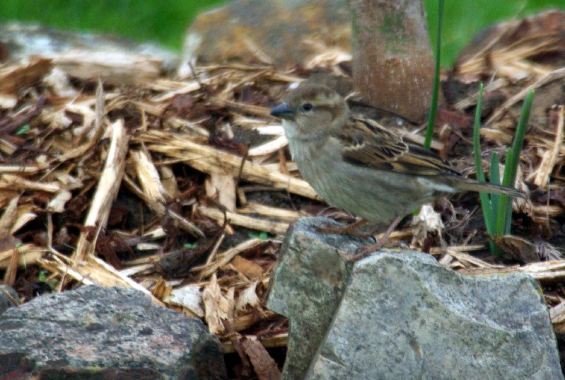 A common sparrow.