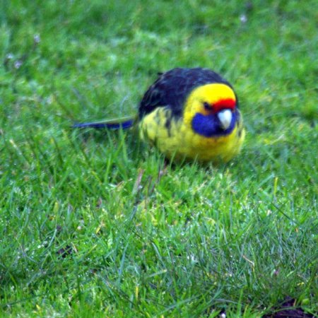 Tasmanian or Green Rosella